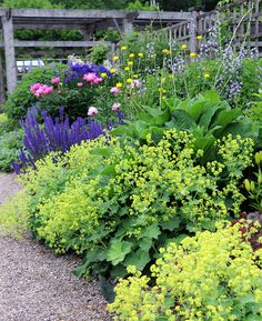 Lady's Mantle (June) to plant at front of beds and around roses