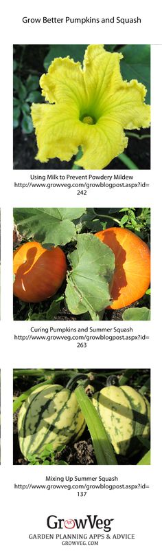 How to grow better pumpkins and summer squash, then how to cure them.
