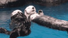 Sleepy sea otters hold hands so they don't drift apart while they nap. | 22 Reasons Sea Otters Are Your Favorite Sea Creature