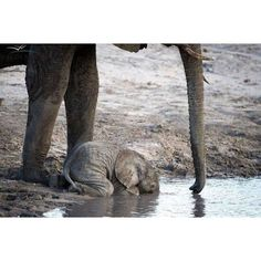 Baby Elephant drinking. When they are this young, they don't yet know how to use their trunks to drink water #Padgram