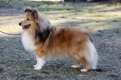 Image result for Shelties ,Sweden