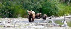 Bärenbeobachtung in West-Kanada