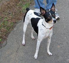 Rat Terrier Information  my JIGGERS. who the pound says was a chihuahua mix. some mix uh?