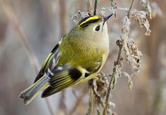 The Goldcrest, Regulus regulus, is a very small passerine bird in the Kinglet family. Several subspecies are recognized across the very large distribution range that includes much of Eurasia and the islands of Micronesia.