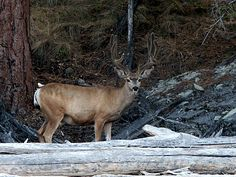 Central Appalachian Mountains   Absolutely awe inspiring a deer in velvet stands near the trail