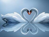 Cisnes formando un corazón