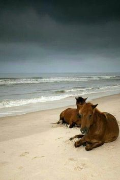 Ponies on OBX and please advocate and save these historic Spanish Mustangs!