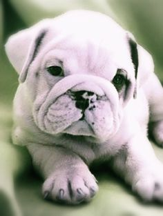 The major breeds of bulldogs are English bulldog, American bulldog, and French bulldog. The bulldog has a broad shoulder which matches with the head. Bulldog Puppies For Sale, English Bulldog Puppies, Cute Puppies, Corgi Puppies, British Bulldog, Baby Dogs, Pet Dogs, Dog Cat, Doggies