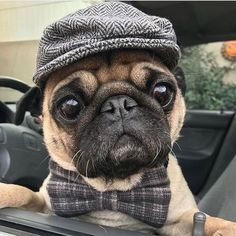 That's one dapper pug, He barks with a British accent!