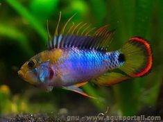 Microgeophagus Ramirezi German Blue Ram 3 Quot Venezuelan