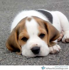 sweet-beagle-pup.