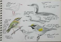 birding field sketches