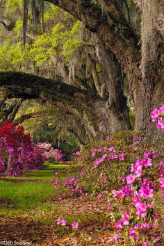 Magnolia Gardens, Charleston, South Carolina  || Pink, Red, & White Azaleas along the path