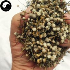 Gu Jing Cao 谷精草, Flos Eriocauli, Buerger Pipewort Flower Traditional Chinese Medicine, Flower Tea, Medicinal Herbs, How To Dry Basil, Herbalism, Flowers, Herbal Medicine, Florals, Flower