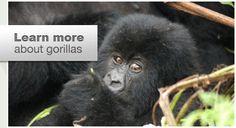 International Gorilla Conservation website - interesting layout