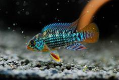 Apistogramma Alto tapiche #TropicalFishKeeping #TropicalFishAquariumIdeas