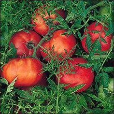 Tomato Seedlings, Tomato Seeds, Tomato Plants, Silver Fir, Perennial Vegetables, Tomato Cages, Fir Tree, Heirloom Tomatoes, Ornamental Grasses
