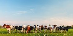 Photo about Panorama of curious Dutch milk cows in a row. Image of farm, livestock, animal - 29244609 Livestock, Empire State Building, Farm Animals, Netherlands, The Row, Holland, Milk, Wallpaper, Canvas