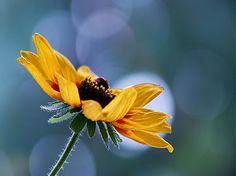 klaura / žltá letná