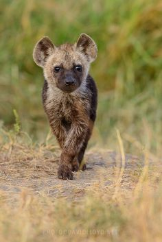 Hyena Pup by David Lloyd. Hyenas are wrongly accused of stealing lions' kills. They do sometimes but lions steal from hyenas as much or more. Cub shown here is a spotted hyena, one of three different hyena species. Mundo Animal, Power Animal, Young Animal, Cute Baby Animals, Animals And Pets, Wild Animals, Beautiful Creatures, Animals Beautiful, Cutest Animals