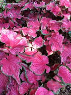 'Sizzle' from Bates Sons & Daughters new caladium varieties for the garden. Tropical bulbs are easy to grow! Bright pink plants for shade or sun. Rare Plants, Exotic Plants, Tropical Garden, Tropical Plants, Begonia, Elephant Ear Plant, Elephant Ears, Orquideas Cymbidium, Mosquito Repelling Plants