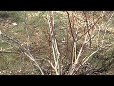 ▶ How to Prune a Blueberry Bush -Prune late winter. Prune oldest canes (thickest) down to ground. Can prune up to of bush. Blueberry Plant, Blueberry Farm, Fruit Garden, Edible Garden, Vegetable Garden, Summer Garden, Lawn And Garden, Garden Club, Growing Greens