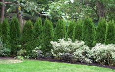 Emerald Green Arborvitae Near street as privacy fence with low shrubs in front for better visibility when backing out