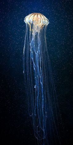 Jellyfish are found in every ocean, from the surface to the deep sea. A few jellyfish inhabit freshwater. This looks like the jellyfish is floating in the sky. Under The Water, Under The Sea, Beautiful Creatures, Animals Beautiful, Beautiful Fish, Simply Beautiful, Pretty Fish, Wale, Water Life