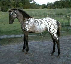 Same horse as the golden one with white spots, 1 side golden with spots and one side this color!!
