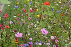 Blomsterfrø Tidlig blomstrende miks