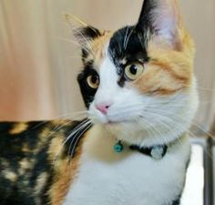 TEXAS ~ Kisses - ID 385006 is an adoptable Calico Cat in McKinney, TX. Kisses is a very friendly and affectionate girl. She loves to talk and loves to meet new people! She would love to meet your soon! Come and meet her at Collin County Animal Services, McKinney, TX  972-547-7292
