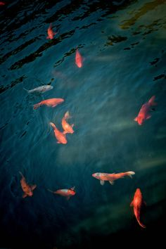 1000 images about koi fish on pinterest koi koi fish pond and fish varieties for Koi fish life span