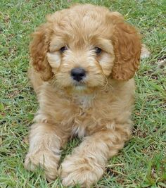 Shiba Inu / Poodle mix.  Small, don't shed, low maintenance, easily trained :) dream puppy
