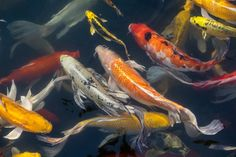 Animate your water garden, pond, and even the aquarium with the different types of Koi fish that are distinguished on the basis of coloration, scales, and patterns. Coi Fish, Koi Fish Pond, Fish Ponds, Koi Fish Drawing, Fish Drawings, Beautiful Fish, Beautiful Butterflies, Butterfly Koi, Common Carp