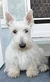 Here is a GREAT looking Wheaten Scottish terrier puppy ... very white.
