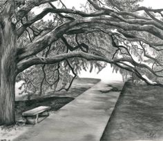 """""""The Century Tree at Texas AM"""" by Crystal Bosse, Dallas // The Century Tree at Texas A&M...Limited edition.Pencil // Imagekind.com -- Buy stunning fine art prints, framed prints and canvas prints directly from independent working artists and photographers."""