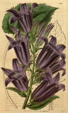 Campanula macrantha. Curtis's botanical magazine. v.61 [new ser.:v.8] (1834) London; New York [etc.] : Academic Press [etc.] Biodiversitylibrary. Biodivlibrary. BHL. Biodiversity Heritage Library