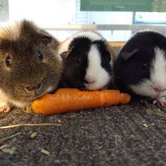 Here´s all three of the guinea pigs eating a carrot. Aren´t they cute?  Tässä on kaikki kolme marsua syömässä ruokaa. Eikö ne olekin söpöjä?