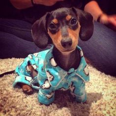 Doxie in jammies