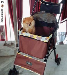 Stroller for a champ! Thank momskie @pricilliapa ♥️☺️ #pomeranianpuppy #pomeranian #pomeraniandogs #pomeranianworld #pomeranianlovers