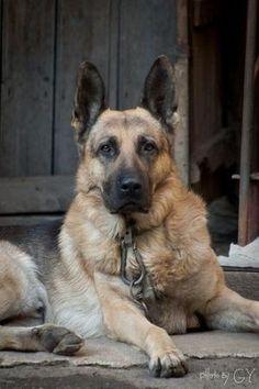 German shepherd by جلنار الطرابلسى