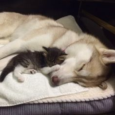 This Husky Helped Save A Cat's Life And Now They're The Cutest BFFs