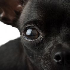 Chihuahua Black Stock Photos And Images Black Chihuahua, Chihuahua Names, Cute Chihuahua, Chihuahua Puppies, Teacup Chihuahua, Cute Puppies, Chihuahuas, Pet Dogs, Dog Cat