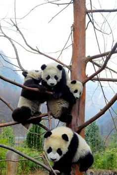 Giant pandas play on a tree at the Research and Conservation Center for Giant Pandas in the Wolong Nature Reserve.