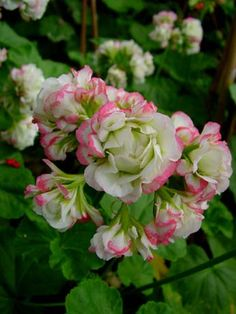 "Appleblossom Rosebud - Pelargonium x hortorum (zonal). Petals in unique ""rosebud"" shape.  This plan is a hearty zonal with delicate coloration."