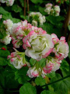 "Appleblossom Rosebud - Pelargonium x hortorum (zonal). Petals in unique ""rosebud"" shape.  This plan is a hearty zonal with delicate coloration."