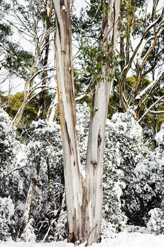 'Snow Trunk' Photographic Print by Kara Rosenlund. The iconic colours of Australia gently reveal themselves, as the snow melts away the white blanket disguise. High up in the central ranges of Tasmania. © Kara Rosenlund  Shop here: http://shop.kararosenlund.com/snow-trunk-photographic-print/