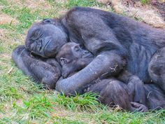 National Geographic Your Shot - Petra Schwarz - National Geographic Your Shot Maman et enfant # 2 Photo de Rami Chowaniec - National Geographic Your Shot - Primates, Cute Funny Animals, Cute Baby Animals, Animals And Pets, Baby Gorillas, Tier Fotos, Cute Animal Pictures, My Animal, Animals Beautiful