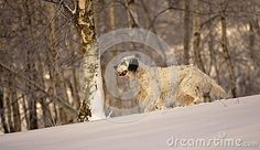 English setter on the snowdrifts in woods