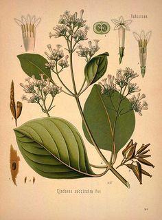 Cinchona succirubra Pav. (Cinchona pubescens Vahl), Quinine - Medicinal Botanical Plants